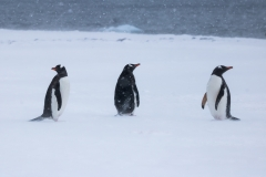 Three penguins in a snowstorm